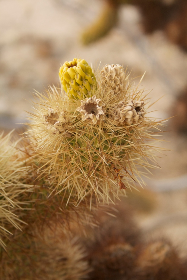 Up close and personal with a cholla cactus.
