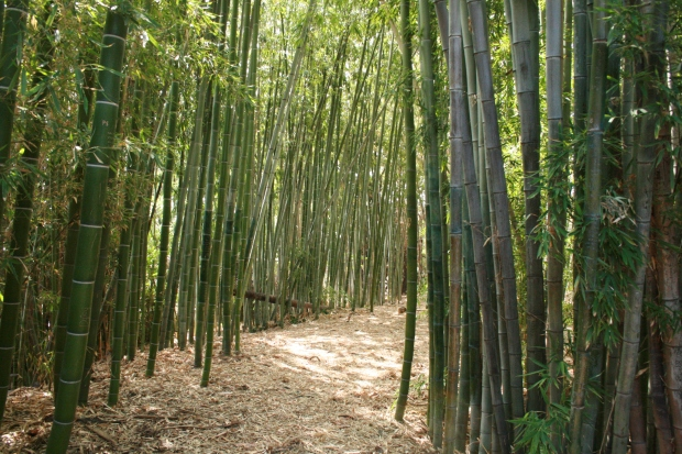A bamboo forest. This arboretum actually has everything.